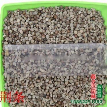 批发荆条种子 牡荆种子 护坡保湿灌木种子 新采优质黄荆柴种子
