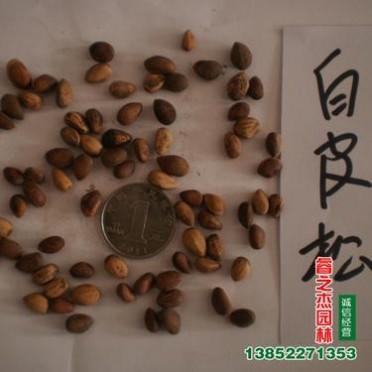 林木种子批发 白皮松种子批发 名贵树种子 松树种子批发