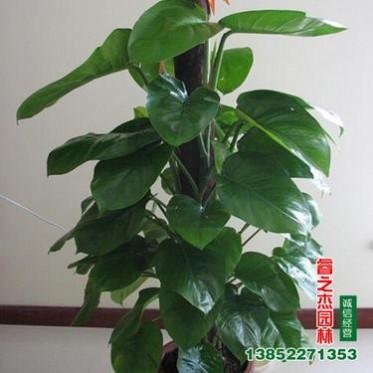 基地批发优质家居大盆栽 室内办公室植物 直销常用盆栽 大叶绿萝