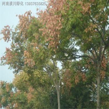 栾树基地落叶乔木黄山栾树庭院园林绿化工程苗木行道乔木树种