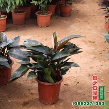 直销大叶金钻盆栽 蔓绿绒 吸甲醛 净化空气 可水培 观叶红钻