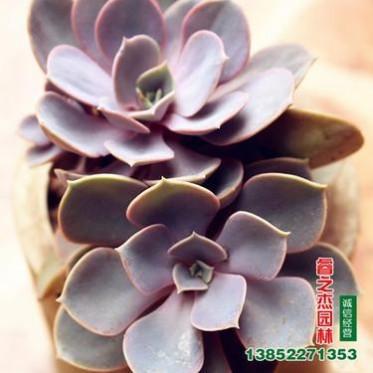 批发紫珍珠 多肉植物 创意迷你绿植 花卉盆栽 办公室摆放小盆栽