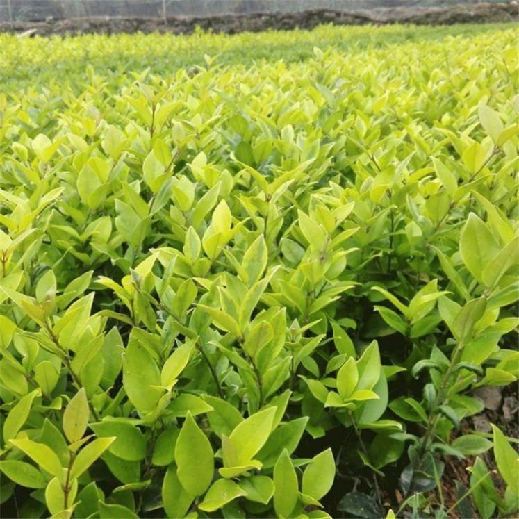 金森女贞基地常绿灌木金森女贞价格庭院园林绿化工程苗木常绿观叶