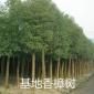 香樟 出售各类香樟树 香樟树基地批发