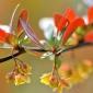 批发绿化工程苗木红叶小檗苗 红叶小波苗 红叶小檗苗 红叶
