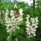 【杰城园林】供应各种苗木 种苗 基地直销 优质 刺槐树苗